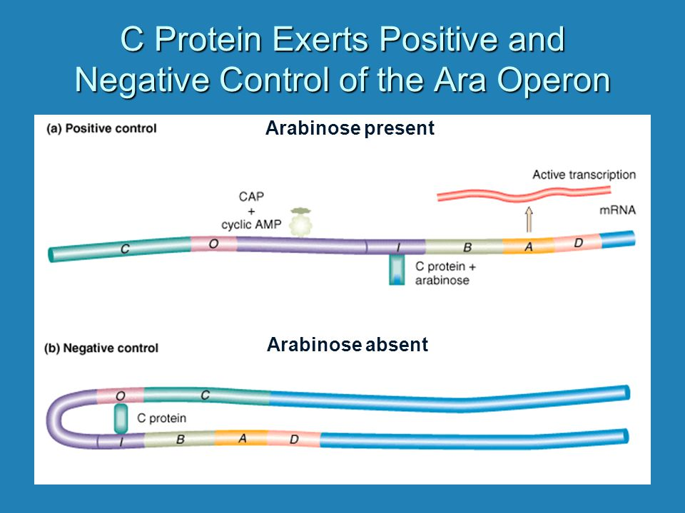 C Protein Exerts Positive and Negative Control of the Ara Operon Arabinose present Arabinose absent