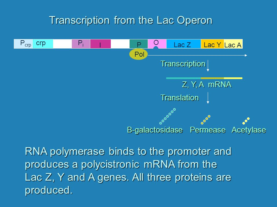 Lac ZLac Y Lac A P O PiPi I P crp crp Transcription from the Lac Operon RNA polymerase binds to the promoter and produces a polycistronic mRNA from the Lac Z, Y and A genes.