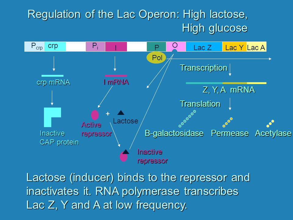 Summary of Ara Operon Regulation Level of Arabinose Level of Glucose Ara Operon LowHigh LowLow HighHigh HighLow Off C protein bound to O and I, Inhibiting transcription Off C protein bound to O and I On at low frequency C protein + arabinose bound to I, enhancing transcription On at high frequency C protein + arabinose bound to I and cAMP + CAP bound to I, enhancing transcription