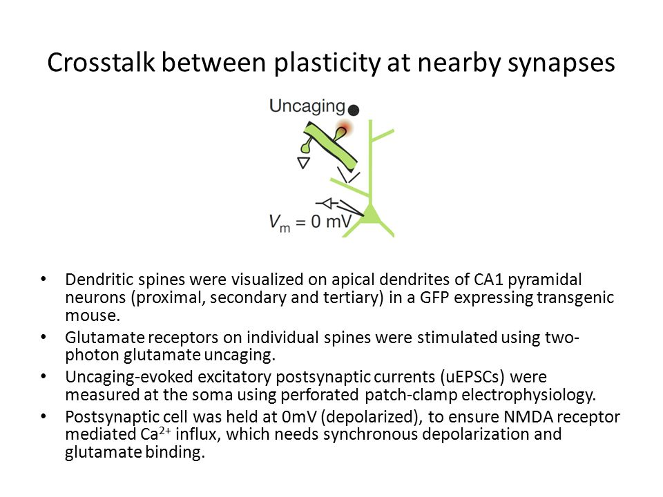 Crosstalk between plasticity at nearby synapses Dendritic spines were visualized on apical dendrites of CA1 pyramidal neurons (proximal, secondary and tertiary) in a GFP expressing transgenic mouse.