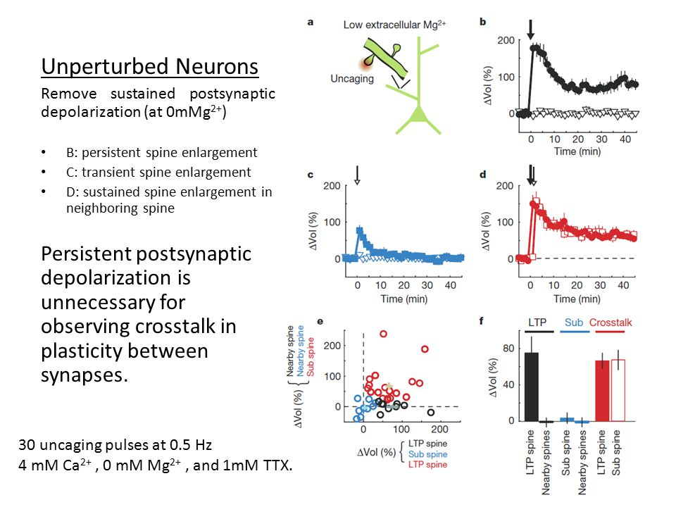 Unperturbed Neurons Remove sustained postsynaptic depolarization (at 0mMg 2+ ) B: persistent spine enlargement C: transient spine enlargement D: sustained spine enlargement in neighboring spine Persistent postsynaptic depolarization is unnecessary for observing crosstalk in plasticity between synapses.