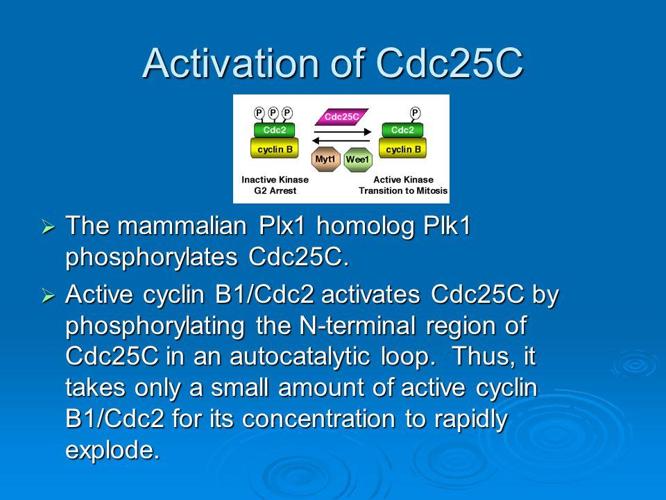 Activation of Cdc25C  The mammalian Plx1 homolog Plk1 phosphorylates Cdc25C.