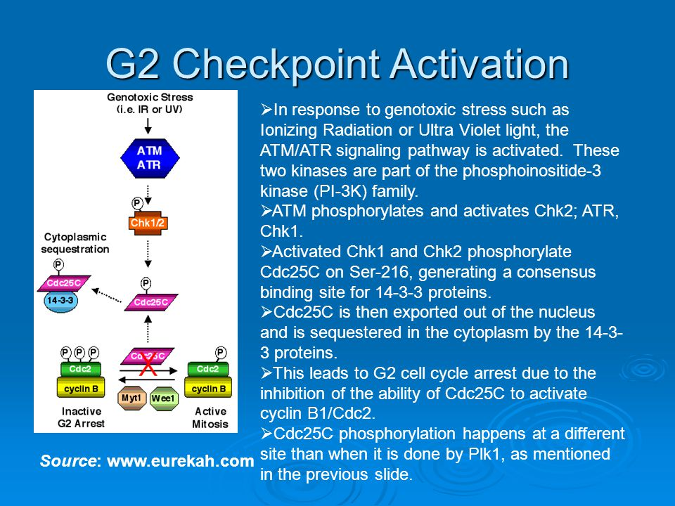 G2 Checkpoint Activation Source: www.eurekah.com  In response to genotoxic stress such as Ionizing Radiation or Ultra Violet light, the ATM/ATR signaling pathway is activated.
