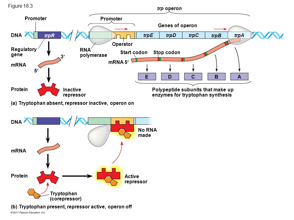 Promoter DNA Regulatory gene mRNA trpR 5 3 Protein Inactive repressor RNA polymerase Promoter trp operon Genes of operon Operator mRNA 5 Start codonStop codon trpEtrpDtrpC trpB trpA EDCBA Polypeptide subunits that make up enzymes for tryptophan synthesis (a) Tryptophan absent, repressor inactive, operon on (b) Tryptophan present, repressor active, operon off DNA mRNA Protein Tryptophan (corepressor) Active repressor No RNA made Figure 18.3