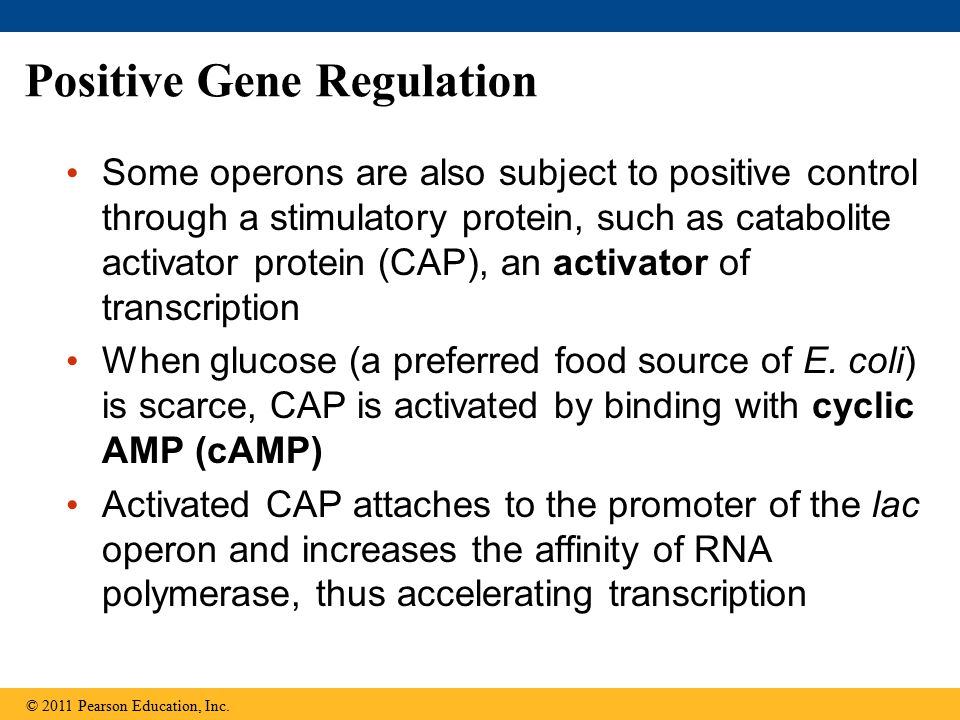 Positive Gene Regulation Some operons are also subject to positive control through a stimulatory protein, such as catabolite activator protein (CAP),