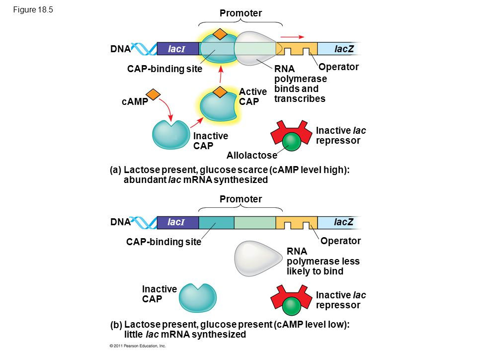 Figure 18.5 Promoter DNA CAP-binding site lacZlac I RNA polymerase binds and transcribes Operator cAMP Active CAP Inactive CAP Allolactose Inactive lac repressor (a)Lactose present, glucose scarce (cAMP level high): abundant lac mRNA synthesized Promoter DNA CAP-binding site lacZlac I Operator RNA polymerase less likely to bind Inactive lac repressor Inactive CAP (b) Lactose present, glucose present (cAMP level low): little lac mRNA synthesized