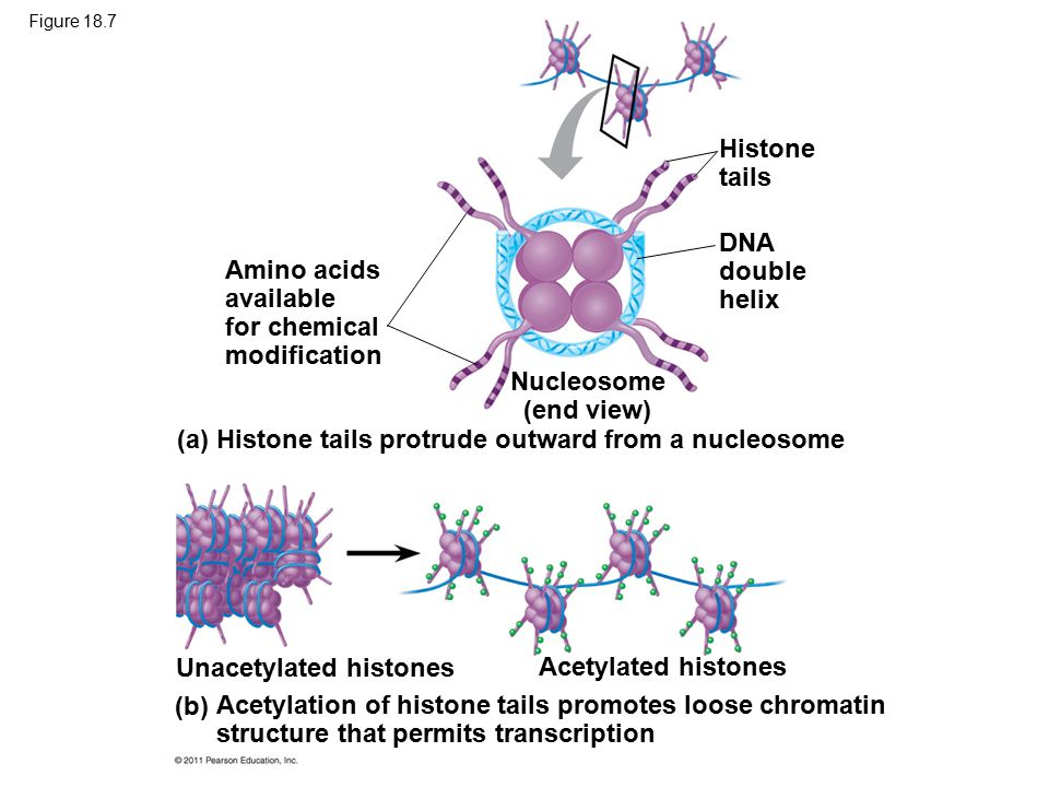 Figure 18.7 Amino acids available for chemical modification Histone tails DNA double helix Nucleosome (end view) (a) Histone tails protrude outward fr