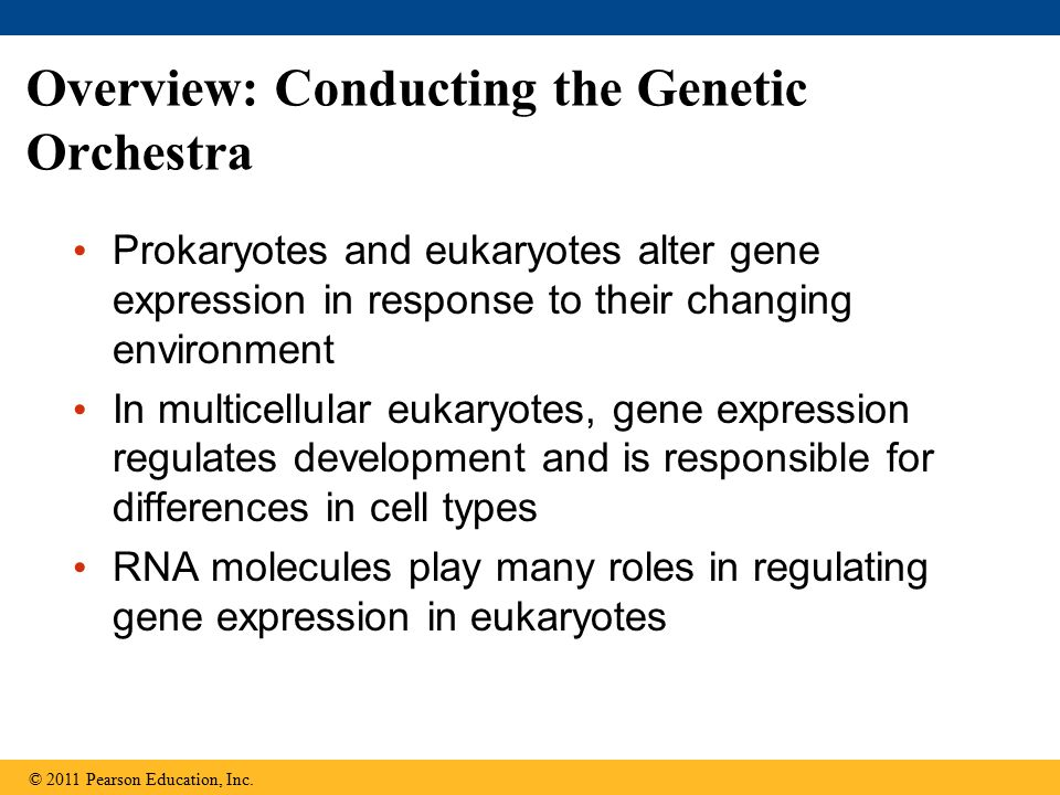 (a) Lactose absent, repressor active, operon off (b) Lactose present, repressor inactive, operon on Regulatory gene Promoter Operator DNA lacZlac I DNA mRNA 5 3 No RNA made RNA polymerase Active repressor Protein lac operon lacZlacYlacADNA mRNA 5 3 Protein mRNA 5 Inactive repressor RNA polymerase Allolactose (inducer)  -Galactosidase PermeaseTransacetylase Figure 18.4