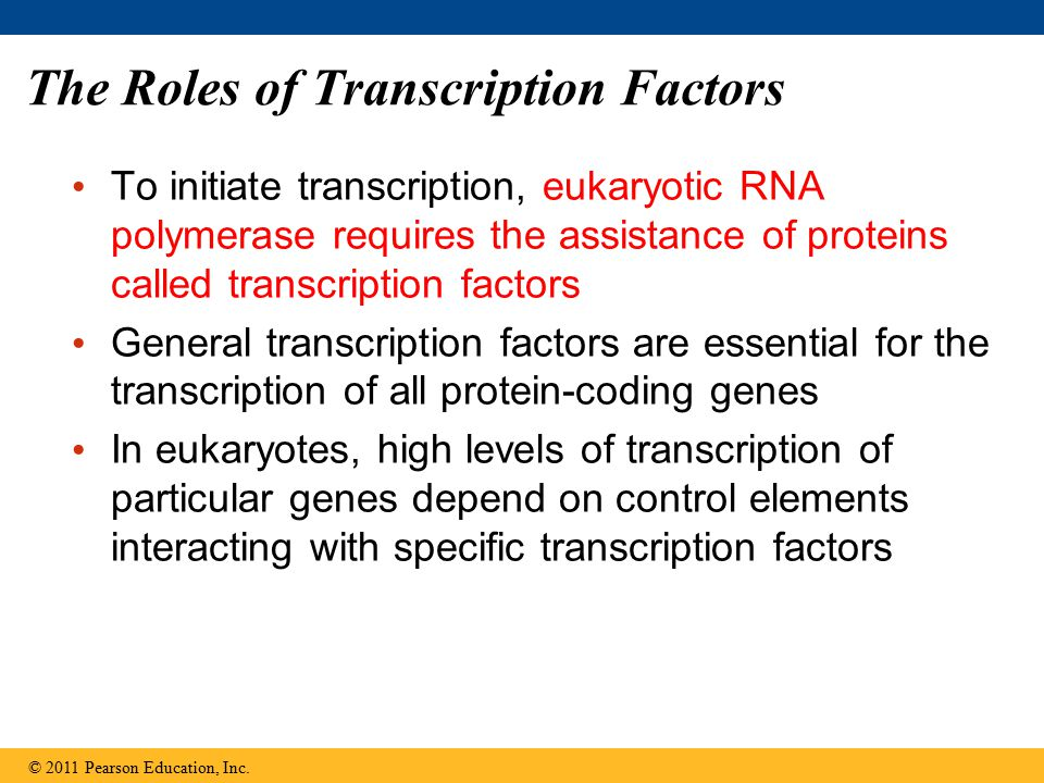 The Roles of Transcription Factors To initiate transcription, eukaryotic RNA polymerase requires the assistance of proteins called transcription facto