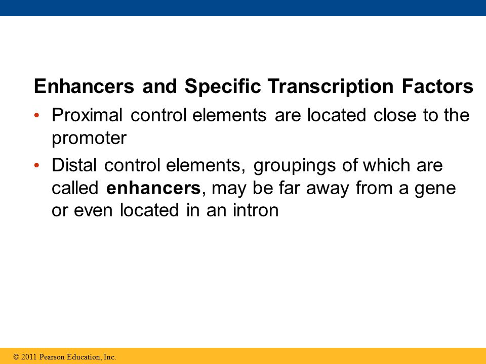 Proximal control elements are located close to the promoter Distal control elements, groupings of which are called enhancers, may be far away from a gene or even located in an intron Enhancers and Specific Transcription Factors © 2011 Pearson Education, Inc.