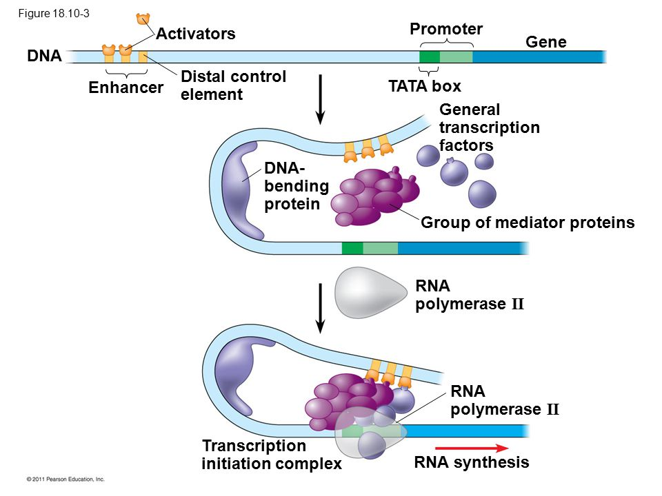Activators DNA Enhancer Distal control element Promoter Gene TATA box General transcription factors DNA- bending protein Group of mediator proteins RNA polymerase II RNA synthesis Transcription initiation complex Figure 18.10-3
