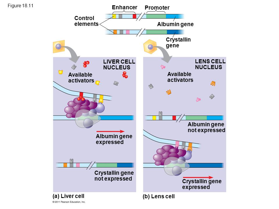 Figure 18.11 Control elements Enhancer Promoter Albumin gene Crystallin gene LIVER CELL NUCLEUS Available activators Albumin gene expressed Crystallin gene not expressed (a) Liver cell LENS CELL NUCLEUS Available activators Albumin gene not expressed Crystallin gene expressed (b) Lens cell