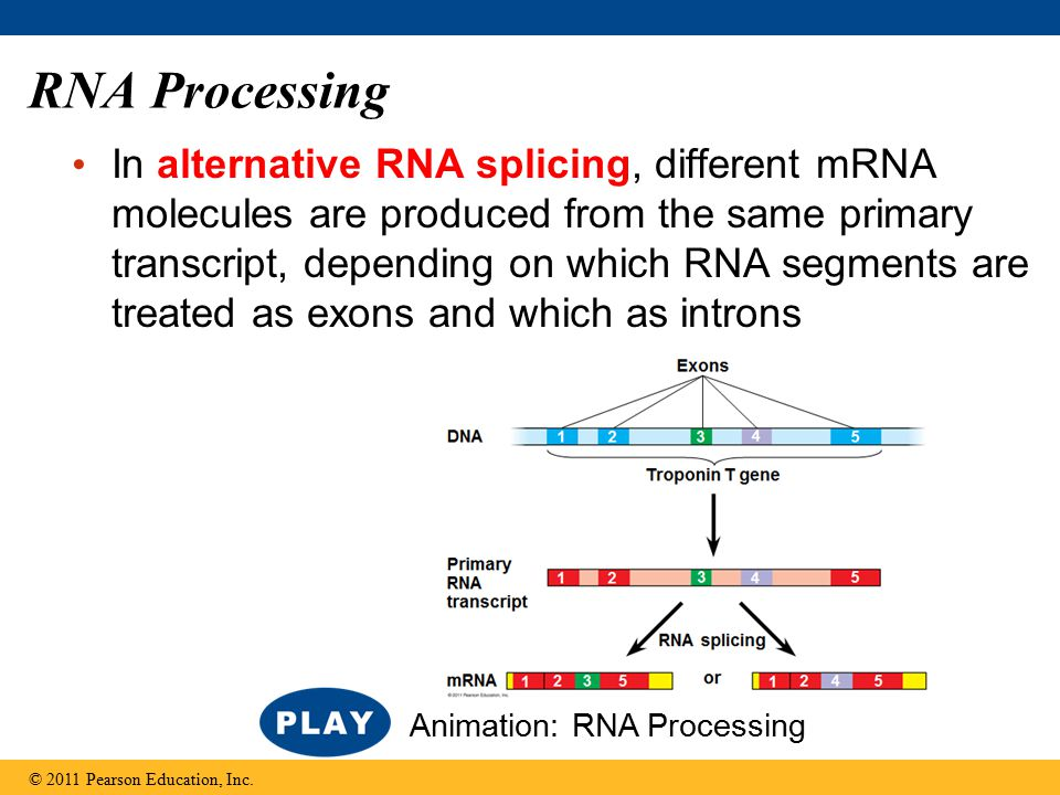 RNA Processing In alternative RNA splicing, different mRNA molecules are produced from the same primary transcript, depending on which RNA segments are treated as exons and which as introns © 2011 Pearson Education, Inc.