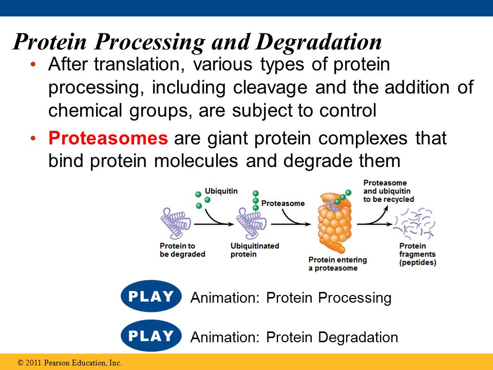 Protein Processing and Degradation After translation, various types of protein processing, including cleavage and the addition of chemical groups, are