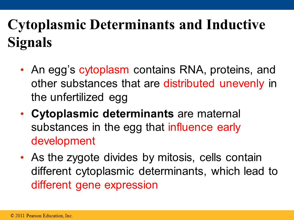 Cytoplasmic Determinants and Inductive Signals An egg's cytoplasm contains RNA, proteins, and other substances that are distributed unevenly in the un