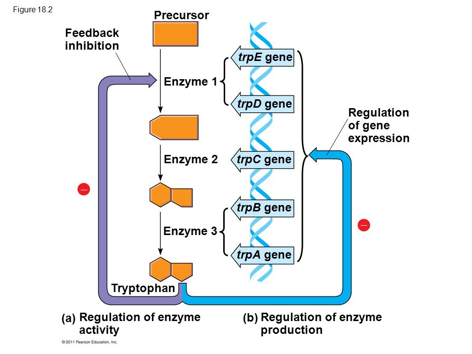 Epigenetic Inheritance Although the chromatin modifications just discussed do not alter DNA sequence, they may be passed to future generations of cells The inheritance of traits transmitted by mechanisms not directly involving the nucleotide sequence is called epigenetic inheritance © 2011 Pearson Education, Inc.