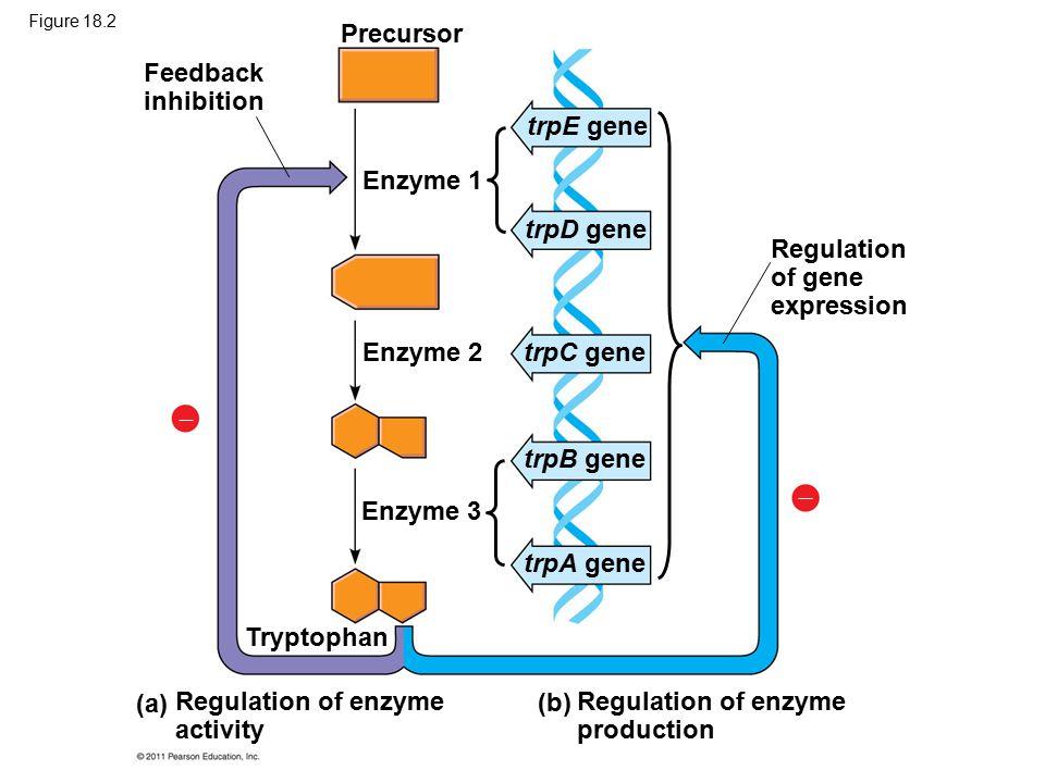 Precursor Feedback inhibition Enzyme 1 Enzyme 2 Enzyme 3 Tryptophan (a) (b) Regulation of enzyme activity Regulation of enzyme production Regulation of gene expression   trpE gene trpD gene trpC gene trpB gene trpA gene Figure 18.2