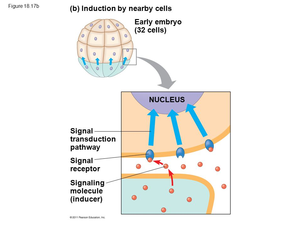 Figure 18.17b (b) Induction by nearby cells Early embryo (32 cells) NUCLEUS Signal transduction pathway Signal receptor Signaling molecule (inducer)