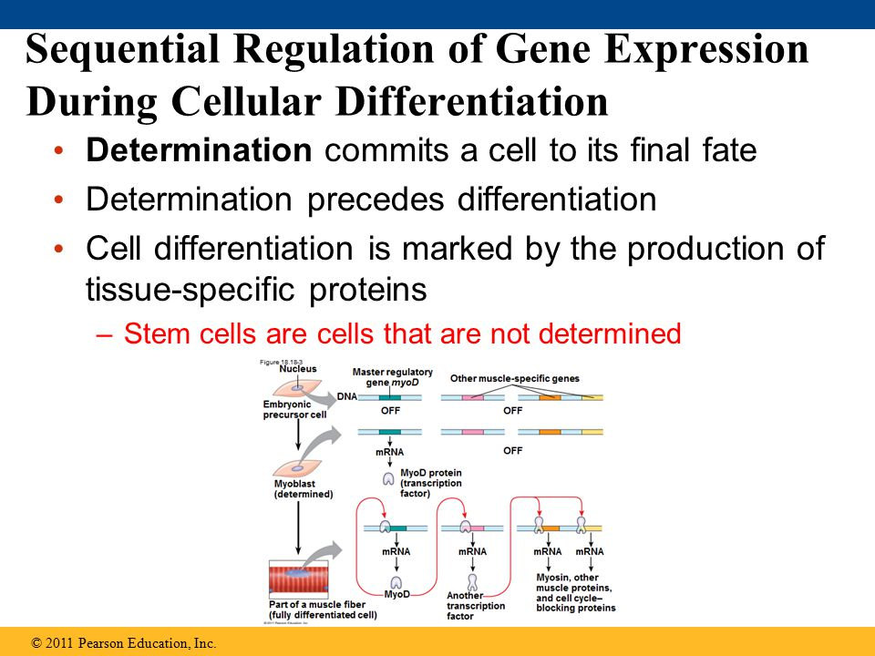 Sequential Regulation of Gene Expression During Cellular Differentiation Determination commits a cell to its final fate Determination precedes differentiation Cell differentiation is marked by the production of tissue-specific proteins –Stem cells are cells that are not determined © 2011 Pearson Education, Inc.