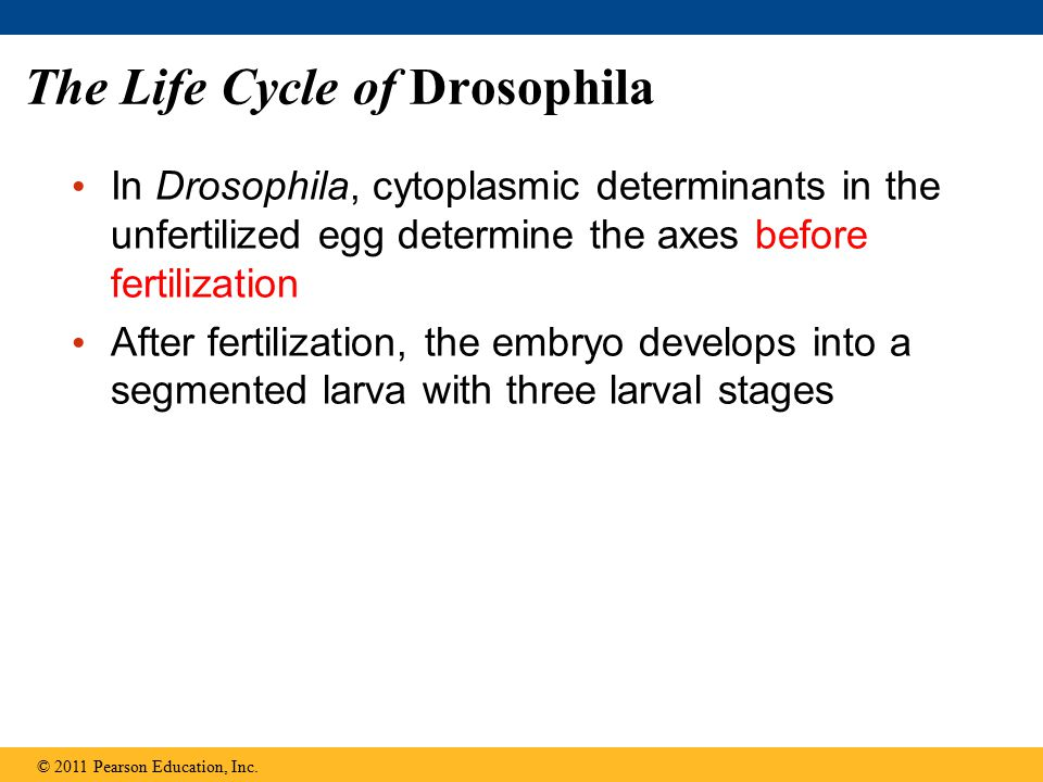 The Life Cycle of Drosophila In Drosophila, cytoplasmic determinants in the unfertilized egg determine the axes before fertilization After fertilization, the embryo develops into a segmented larva with three larval stages © 2011 Pearson Education, Inc.