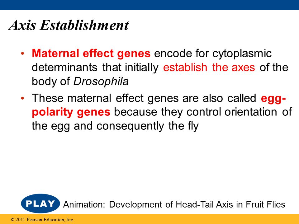 Axis Establishment Maternal effect genes encode for cytoplasmic determinants that initially establish the axes of the body of Drosophila These maternal effect genes are also called egg- polarity genes because they control orientation of the egg and consequently the fly © 2011 Pearson Education, Inc.
