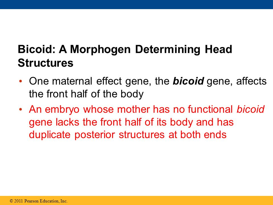 One maternal effect gene, the bicoid gene, affects the front half of the body An embryo whose mother has no functional bicoid gene lacks the front half of its body and has duplicate posterior structures at both ends Bicoid: A Morphogen Determining Head Structures © 2011 Pearson Education, Inc.