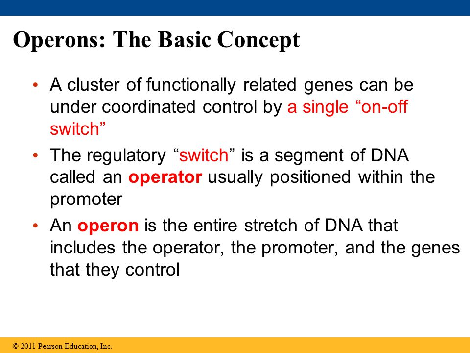 Operons: The Basic Concept A cluster of functionally related genes can be under coordinated control by a single on-off switch The regulatory switch is a segment of DNA called an operator usually positioned within the promoter An operon is the entire stretch of DNA that includes the operator, the promoter, and the genes that they control © 2011 Pearson Education, Inc.