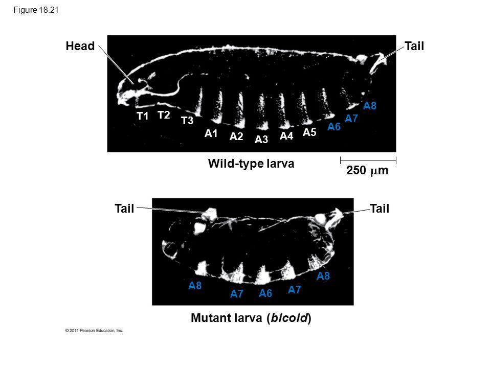 Figure 18.21 Head Tail Wild-type larva Mutant larva (bicoid) 250  m T1 T2 T3 A1 A2 A3 A4 A5 A6 A7 A8 A7 A6 A7 A8