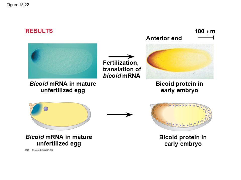 Figure 18.22 Bicoid mRNA in mature unfertilized egg Fertilization, translation of bicoid mRNA Anterior end 100  m Bicoid protein in early embryo RESULTS
