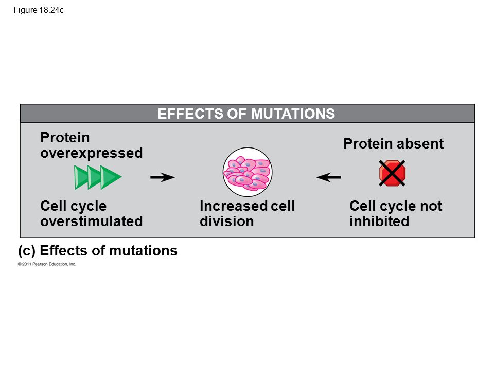 Figure 18.24c EFFECTS OF MUTATIONS (c) Effects of mutations Protein overexpressed Cell cycle overstimulated Increased cell division Protein absent Cell cycle not inhibited