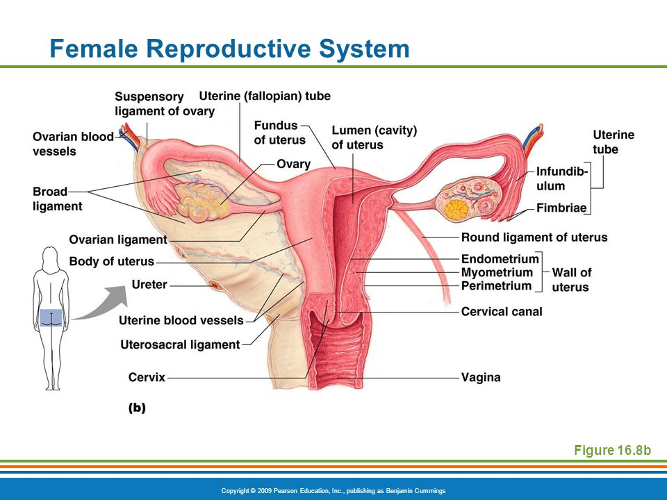 Copyright © 2009 Pearson Education, Inc., publishing as Benjamin Cummings Female Reproductive System Figure 16.8b