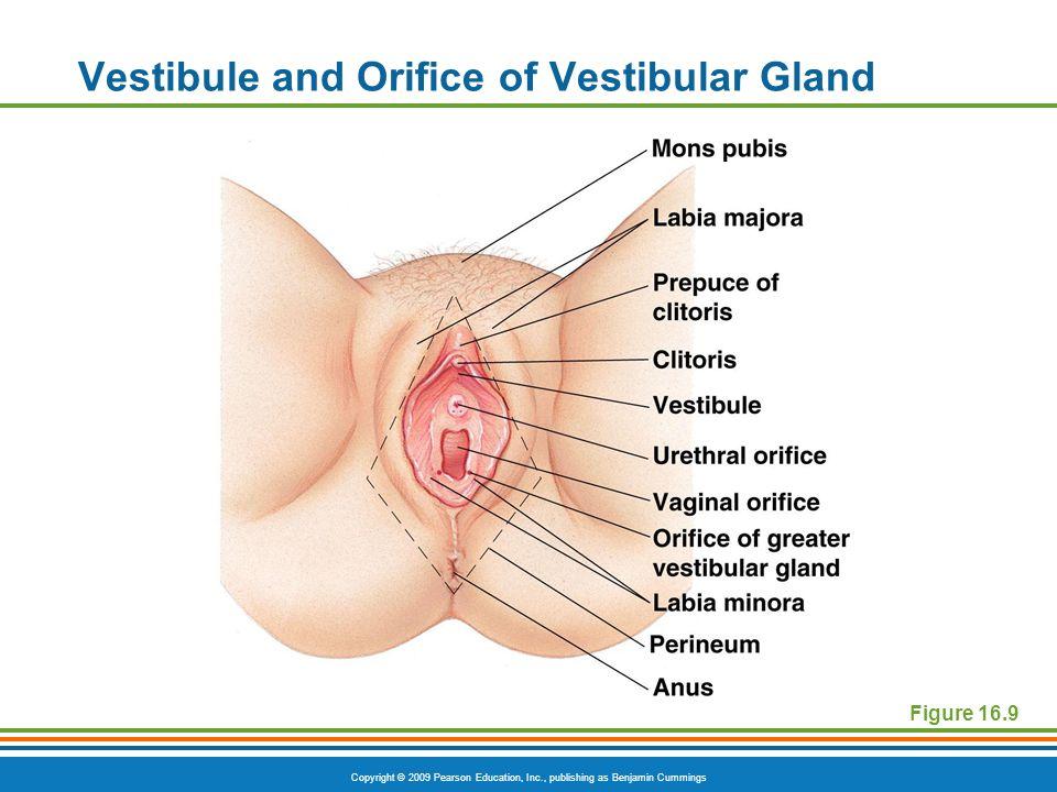 Copyright © 2009 Pearson Education, Inc., publishing as Benjamin Cummings Vestibule and Orifice of Vestibular Gland Figure 16.9