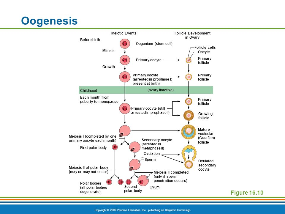 Copyright © 2009 Pearson Education, Inc., publishing as Benjamin Cummings Oogenesis Figure 16.10 Meiotic EventsFollicle Development in Ovary Before bi