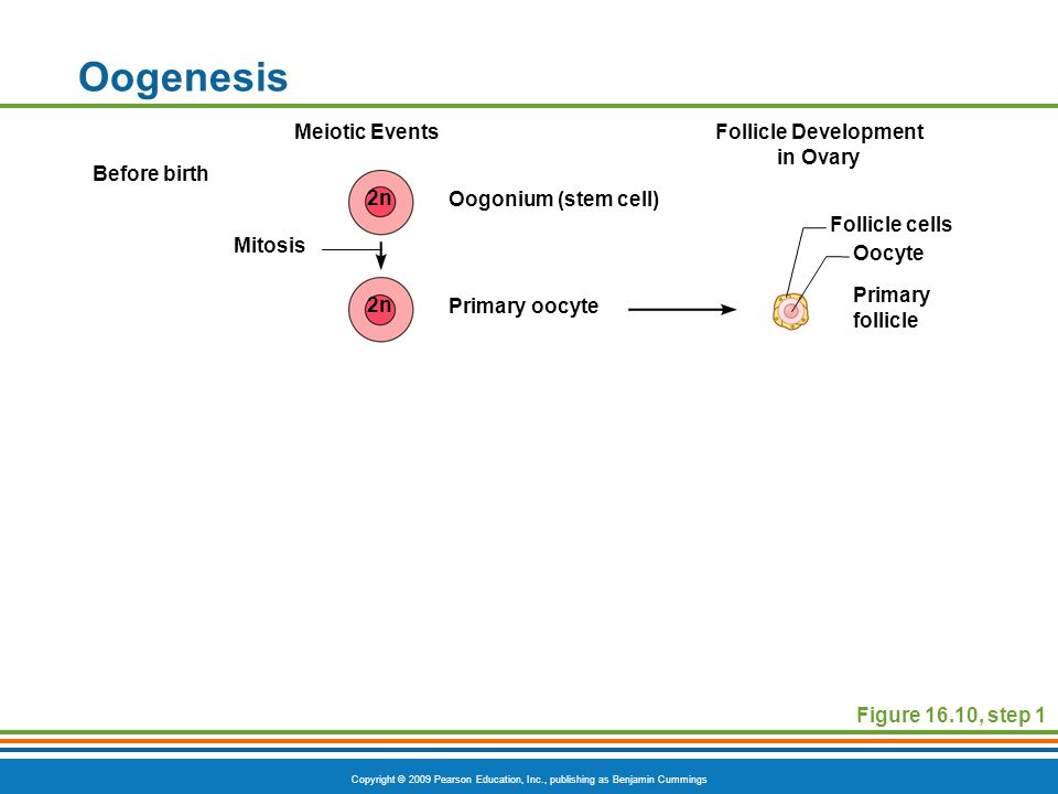 Copyright © 2009 Pearson Education, Inc., publishing as Benjamin Cummings Oogenesis Figure 16.10, step 1 Meiotic EventsFollicle Development in Ovary Before birth Primary oocyte Primary follicle Oocyte Oogonium (stem cell) Mitosis Follicle cells 2n