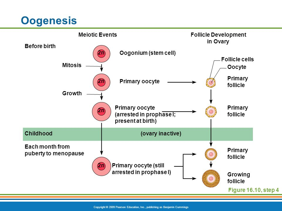 Copyright © 2009 Pearson Education, Inc., publishing as Benjamin Cummings Oogenesis Figure 16.10, step 4 Meiotic EventsFollicle Development in Ovary Before birth Childhood Primary oocyte Primary oocyte (still arrested in prophase I) Primary follicle Oocyte Growing follicle Primary oocyte (arrested in prophase I; present at birth) Oogonium (stem cell) Each month from puberty to menopause Mitosis Growth Follicle cells (ovary inactive) 2n