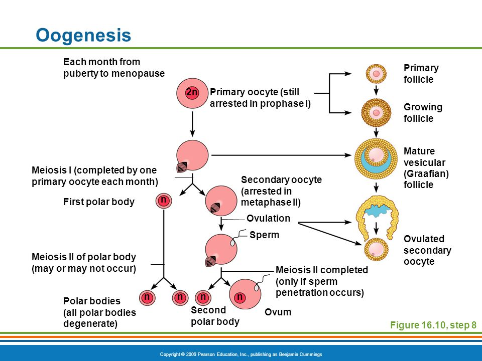 Copyright © 2009 Pearson Education, Inc., publishing as Benjamin Cummings Oogenesis Figure 16.10, step 8 Primary oocyte (still arrested in prophase I) Mature vesicular (Graafian) follicle Primary follicle Ovulated secondary oocyte Growing follicle Each month from puberty to menopause Meiosis I (completed by one primary oocyte each month) First polar body Meiosis II of polar body (may or may not occur) Polar bodies (all polar bodies degenerate) Ovum Second polar body Meiosis II completed (only if sperm penetration occurs) Sperm Ovulation Secondary oocyte (arrested in metaphase II) 2n n nnnn