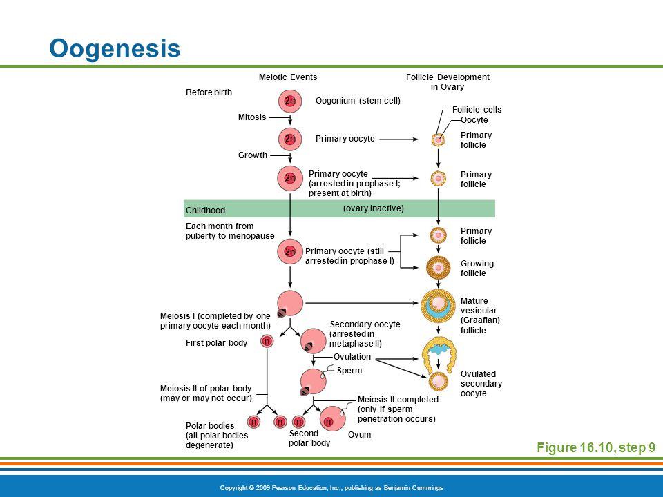 Copyright © 2009 Pearson Education, Inc., publishing as Benjamin Cummings Oogenesis Figure 16.10, step 9 Meiotic EventsFollicle Development in Ovary B