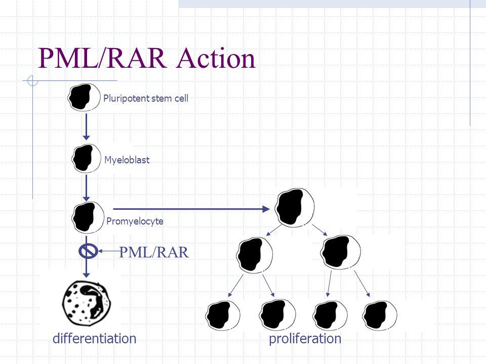 PML/RAR Action PML/RAR proliferationdifferentiation Promyelocyte Myeloblast Pluripotent stem cell