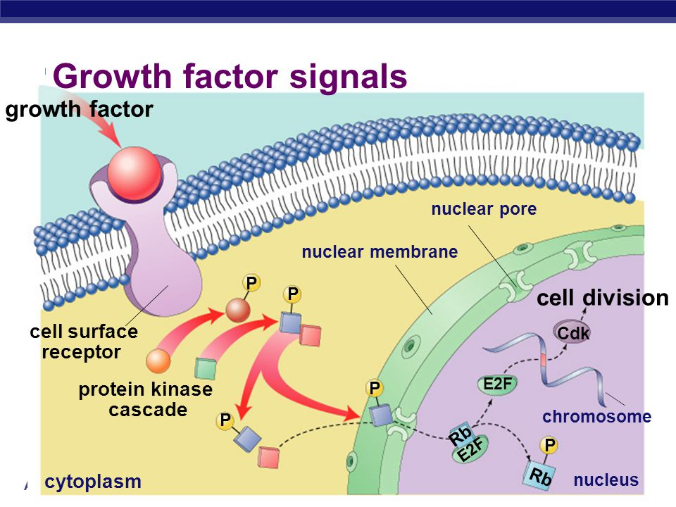 AP Biology External signals  Growth factors  coordination between cells  protein signals released by body cells that stimulate other cells to divide  density-dependent inhibition  crowded cells stop dividing