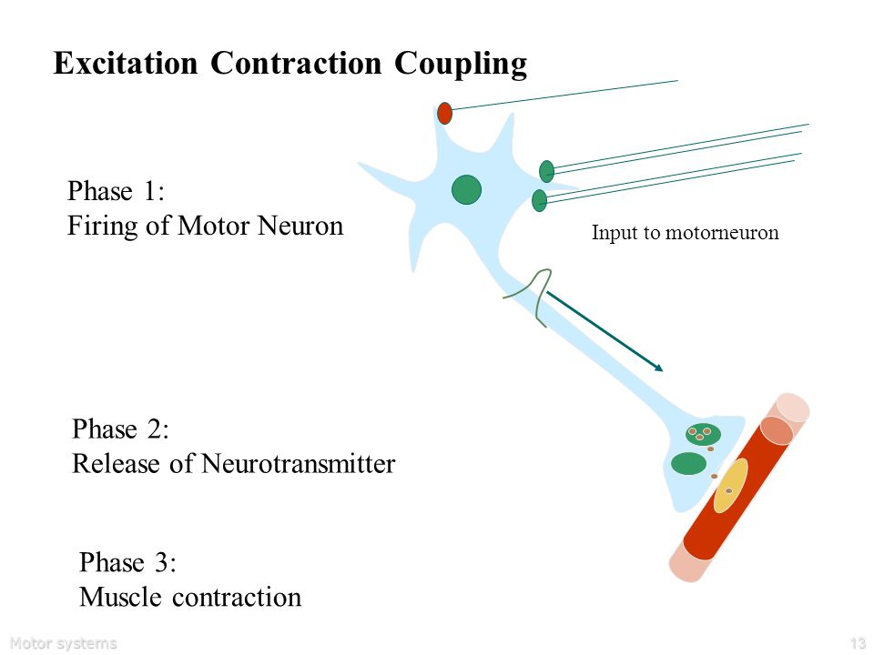 Motor systems13 Excitation Contraction Coupling Phase 1: Firing of Motor Neuron Phase 2: Release of Neurotransmitter Input to motorneuron Phase 3: Muscle contraction