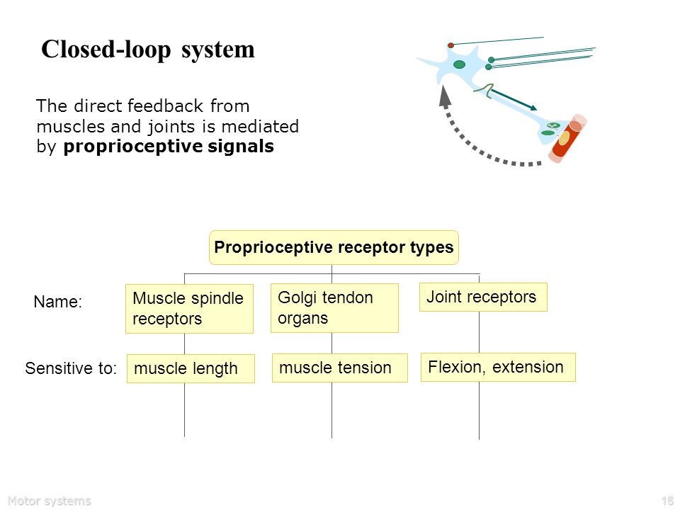 Motor systems16 Closed-loop system The direct feedback from muscles and joints is mediated by proprioceptive signals muscle length Sensitive to: muscle tension Flexion, extension Proprioceptive receptor types Muscle spindle receptors Name: Golgi tendon organs Joint receptors