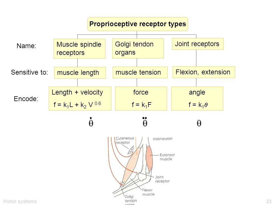 Motor systems23 Proprioceptive receptor types Muscle spindle receptors muscle length Sensitive to: Name: Golgi tendon organs muscle tension Joint receptors Flexion, extension Length + velocity f = k 1 L + k 2 V 0.6 Encode: force f = k 1 F angle f = k 1  