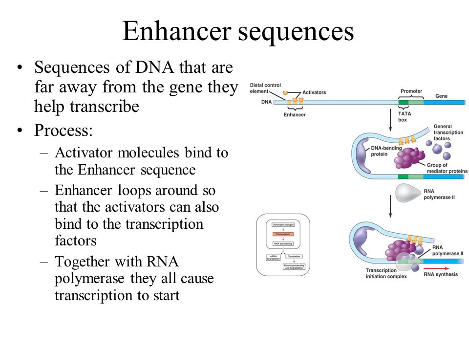 Question… How might binding transcription factors help RNA Polymerase bind? –Creates an area that chemically attracts RNA Polymerase more