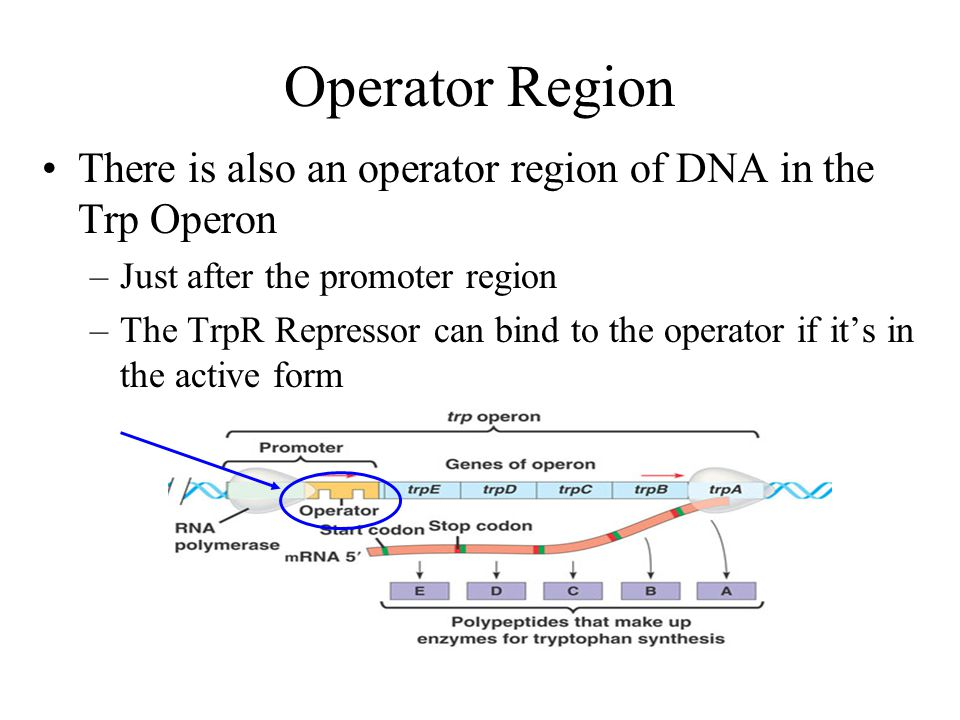 TrpR Repressor Repressor protein is translated in an inactive form Tryptophan is called a corepressor –When tryptophan binds to the TrpR repressor, it
