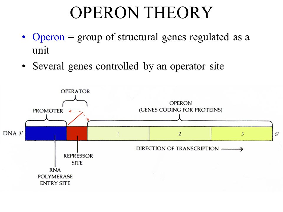 OPERON THEORY Operon = group of structural genes regulated as a unit Several genes controlled by an operator site