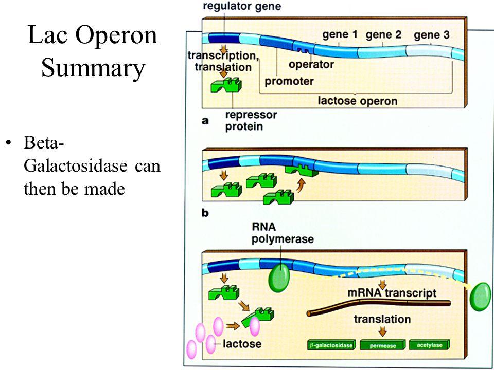 Lac Operon Summary Beta- Galactosidase can then be made