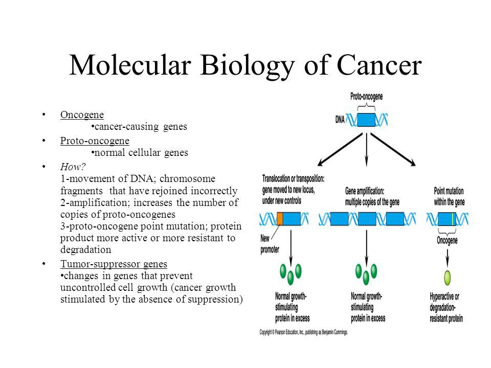 Molecular Biology of Cancer Oncogene cancer-causing genes Proto-oncogene normal cellular genes How? 1-movement of DNA; chromosome fragments that have