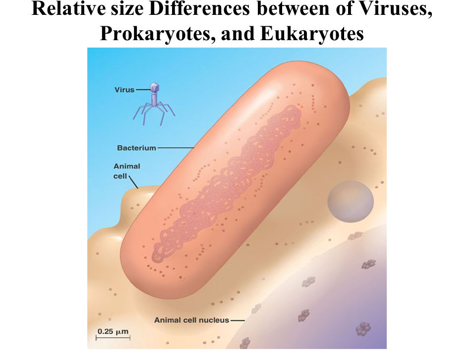 Relative size Differences between of Viruses, Prokaryotes, and Eukaryotes
