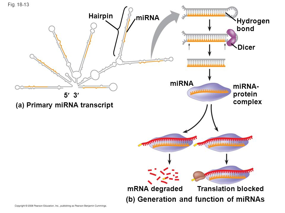 Fig. 18-13 miRNA- protein complex (a) Primary miRNA transcript Translation blocked Hydrogen bond (b) Generation and function of miRNAs Hairpin miRNA D