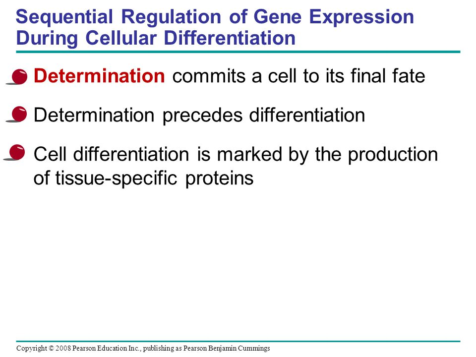 Copyright © 2008 Pearson Education Inc., publishing as Pearson Benjamin Cummings Sequential Regulation of Gene Expression During Cellular Differentiat